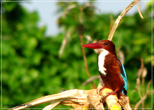 R-WBKingFisher