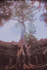 Tree on Ta Prohm (Angkor): when nature overtakes humans (Vin on the move) Tags: travel trees tree monument nature angkor taprohm archeology hdr lonetree lonelytree argentic nikonscan cambogia tonemapped 5photosaday 4exp hdrsingleraw nikon70f vin60 lptrees