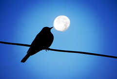 Morning song (AzRedHeadedBrat) Tags: morning blue sky lomoized moon bird nature silhouette composite dawn luna sharleneshappart