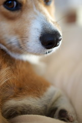 hey! (komehachi888) Tags: dog corgi blueribbonwinner pitan platinumphoto d40x ultron40mmf2slilaspherical