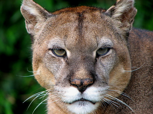 A puma, like the PUMAs