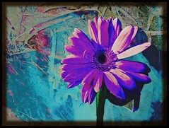 c r a z y    p u r p l e    d a i s y (mckenzieo) Tags: blue flower petals violet canvas gerberadaisy coolcolors abstractbackground photoshopper diamondclassphotographer flickrdiamond purplehairedchick 3don2d flowersonpaintingsset