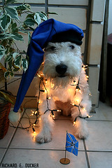 Ruffus - Natal - 2 (Richard E. Ducker) Tags: natal de wire terrier fox wired pelo arame ruffus gremio gremista