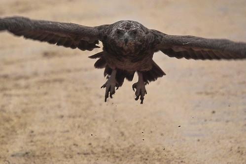 Tawny eagle take-off in rain