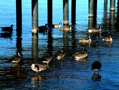 Geese and Dock Piles (Escher Inflection) (TahoeSunsets) Tags: canadageese escheresque tahoekeys tahoesunsets quadzillanet