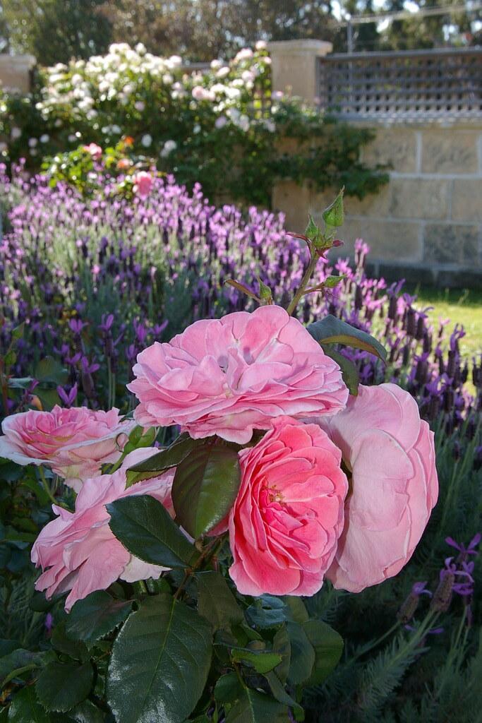 Rose Bouquet, Lavender Bokeh!
