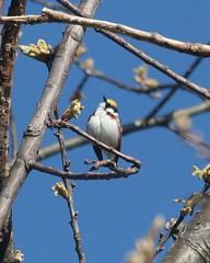 Chestnut-sided Warbler Photo