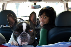 Mineando (susilalala) Tags: dogs mini cooper frenchbulldog nuka bulldogfrancés susilalala mineando