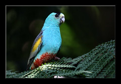 Golden-shouldered Parrot -8305 (Barbara J H) Tags: nature fauna wildlife parrot australia qld australiazoo australianwildlife beerwah australiannativebird birdsofaustralia specanimal wildlifeofaustralia captivebird barbarajh goldenshoulderedparrot psephotuschrysopterygius