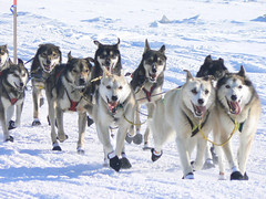 Joe Runyan's dogs coming into Nome (GlennCantor (theskepticaloptimist)) Tags: winter dogs alaska explore nome mushing sleddogs iditarod 250v10f lifebeautiful megashot iditarodtrailsleddograce