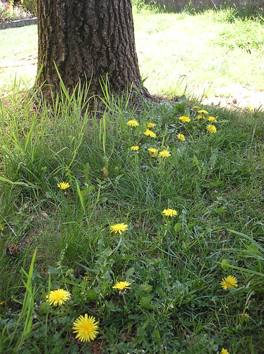 dandelions with tree