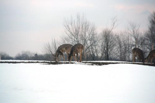 Two Deer in Back Yard
