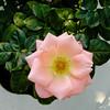 BJ482 Duke Gardens (listentoreason) Tags: usa plant flower nature rose closeup america newjersey unitedstates scenic favorites places olympus greenhouse dukegardens rosales dicot magnoliophyta angiosperm score30 olympusc4040z c4040z