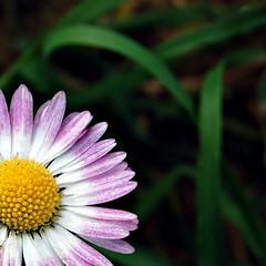 (BARBARA SAVINI) Tags: pink flowers flower macro verde green yellow flora nikon zoom rosa natura giallo fiori fiore petali prato margherita giardino petalo margherite sfumatura sfumature d40 nikond40 sfumata