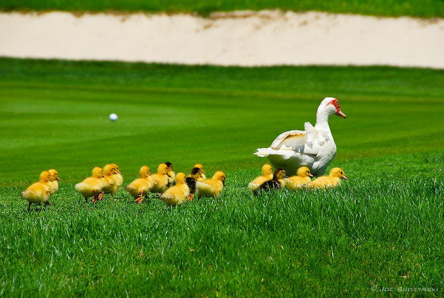 Golf Course Ducks