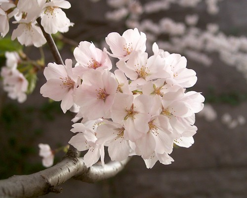 Bunch of cherry blossoms