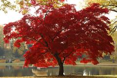 Acer palmatum (mcullenphoto) Tags: tree nature landscape japanese maple nikon scenery d2x acer palmatum