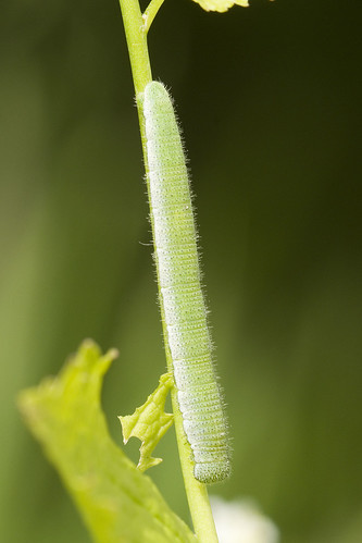 Orange-tip Caterpillar