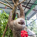 Hoffmann's two-toed sloth Gamboa Wildlife Rescue pandemonio 2017 - 28