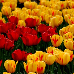 Tulips from Ontario (swisscan) Tags: park red plant ontario canada flower green nature yellow garden spring tulip superaplus aplusphoto