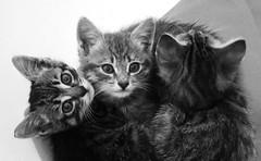 Uh!...Oh!...Zzzzzzzz....... (Fabrette) Tags: bw cats pets macro nature animal animals kittens natura gatti bianconero animali animale gattini