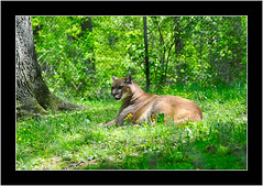 MountainLion_1 (jamiev_03) Tags: 50mm nikon wv 1855mm cougar mountainlion frenchcreek d90