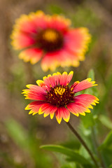 Indian Blanket (Gaillardia pulchella )
