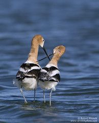 American Avocets -mating ritual (Bob Stronck) Tags: california spring redwoodcity americanavocet redwoodshores shorebirds sanmateocounty matingritual recurvirostraamericana radioroad avocetaamericana ©rmstronck stronckphotocom birdsofsanfranciscobay
