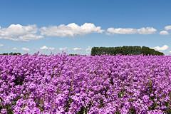 Purple (Frank van Es http://www.frankvanes.eu) Tags: flowers color landscape purple bloemen landschap paars kleur tholen frankvanes