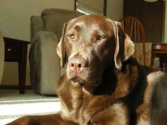 Dakota: Chocolate Lab Sunning