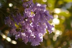 Jacaranda (inail1972) Tags: flowers purple australia nsw jacarandatree suburbansydney