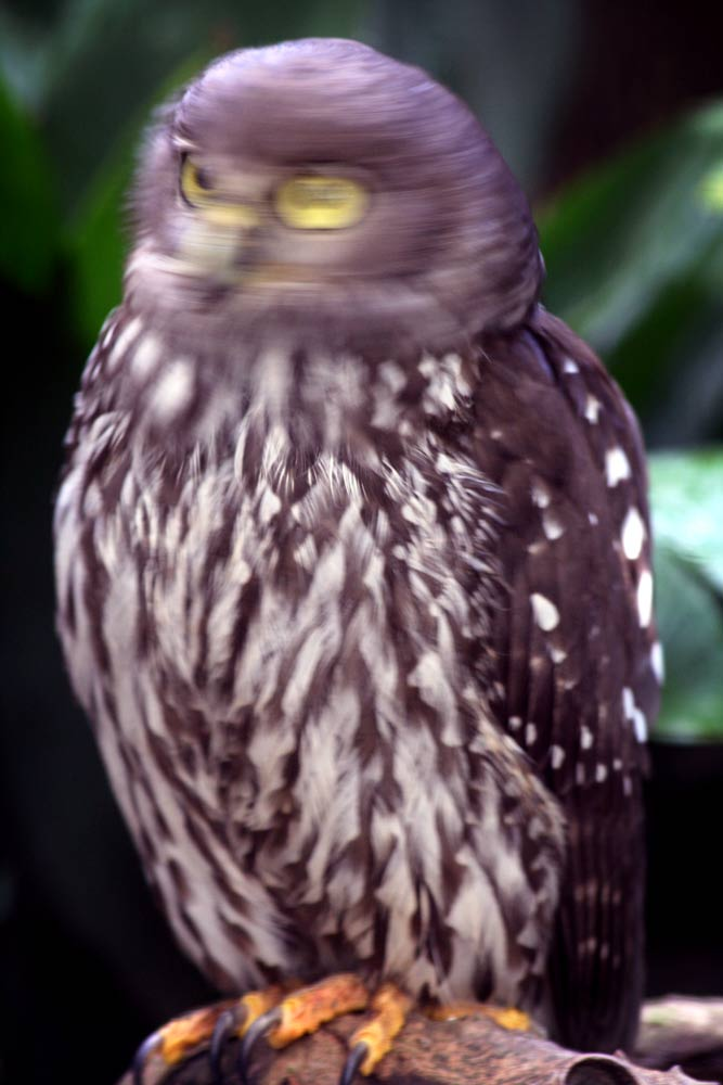 Wise Owl with Head Spinning, originally uploaded by Chapple.stephen on Flickr