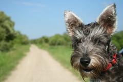 Chocolate (titita85) Tags: chocolate schnauzer mini can perro fotos cachorro precioso primerplano salypimienta