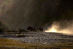 Wildebeest and Dust, Boteti River