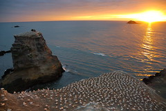 Gannet colony at dusk (Piotr Zurek) Tags: ocean blue sunset newzealand orange sun bird water geotagged rocks aotearoa gannet muriwai gannetcolony nikond200