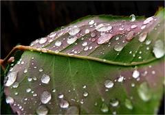 (Lara's  Stuff) Tags: plant nature droplets leaf oneleaf drips mygarden roseleaf driplets
