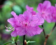 first azalea - enhanced version