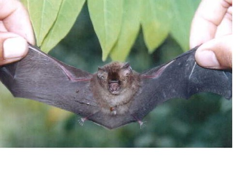 2230764544_34bc503e89 - CRAZY ABOUT BATS! - Science and Research
