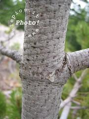 Corteccia Pino Loricato