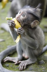 baby macaque (*jos*) Tags: travel bali animals canon indonesia monkey asia 5d macaco animali macaque scimmia canoniani beautifulbali