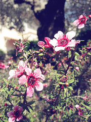 spring in the garden. (*northern star) Tags: pink flowers flower canon garden spring springtime giardino inthegarden uffa northernstar donotsteal allrightsreserved northernstarandthewhiterabbit northernstar mygardengiuglianogiugliano cambogiatreeolivefiorefioriprimaverarosagiardinoin quantomipiacerebbenonevrenulladafareepassarelagiornataaimmortalareifiorelliniscansandoleapinechevoglionofarmilafesta quantomipiacerebbepurechecifosseilsoleoggi tuttogrigioepiove usewithoutpermissionisillegal northernstarphotography ifyouwannatakeitforpersonalusesnotcommercialusesjustask