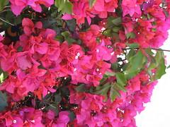Bugambilia  # 15 Abril 2008 (MIMAMOR) Tags: flowers flores bugambilias bugainville topshots veraneras platinumphoto anawesomeshot photosandcalendar ysplix mimamor betterthangood floresbugambiliasveraneras thebestofmimamorsgroups theoriginalgoldseal flickrsportal