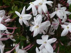 Jazmin en flor
