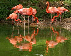 flamingo group (sprigglet) Tags: pink birds oneofakind wildlife flamingo colouful naturesfinest digitalcameraclub animalkingdomelite abigfave superbmasterpiece diamondclassphotographer flickrdiamond ysplix thebestofday gnneniyisi abwaterbirds thewonderfulworldofbirds