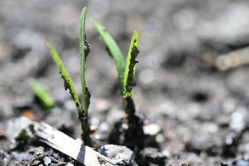 carrot shoots 2