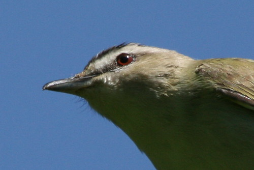 Red-eyed Vireo {Vireo olivaceus}