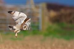 Short-eared Owl (redmanian) Tags: shortearedowl ianredman portlandbill dprset birdinflight