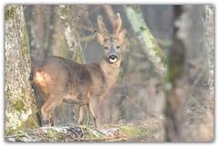 prise de vue assez difficile dans un petit bosquet à la végétation assez dense (guiguid45) Tags: nature sauvage animaux mammifères forêt loiret forêtdorléans d810 nikon 500mmf4 chevreuil brocard capreoluscapreolus roedeer ree