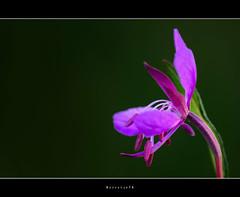 Heavy Stamen . . . . . . (Borretje76) Tags: pink flower macro green netherlands dutch field iso100 groen dof purple little sony nederland sigma tiny stamen f8 enschede depth purpleflower roze paars bloem amount littleflower 180mm flowersadminfave a580 gupr borretje76 dslra580 bloepje