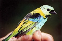 Saíra-de-sete-cores (cauSTAHL) Tags: macro bird pássaro 70300mm canoneos300 superbmasterpiece caustahl grupo1a10brasil